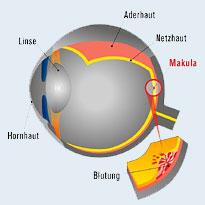 Querschnitt durch das Auge mit Netzhaut und Makula