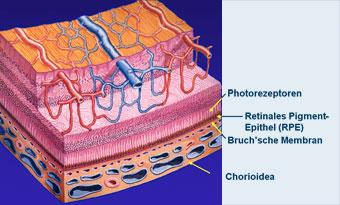 Anatomie der Retina (Schematischer Aufbau)